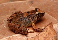 在叶子废弃物的母犀牛青蛙 免版税图库摄影