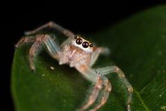 在叶子极端关闭的跳跃的蜘蛛宏观照片跳跃 库存照片