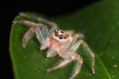 在叶子极端关闭-宏观照片的跳跃的蜘蛛跳跃 库存照片