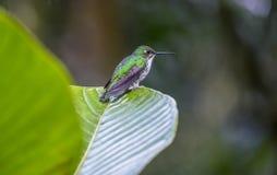 在叶子栖息的一只安地斯山的鲜绿色蜂鸟 免版税库存照片