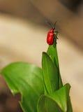 在叶子栖息的百合甲虫 免版税库存照片