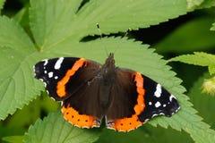 在叶子栖息的蝴蝶 免版税库存图片