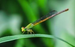 在叶子栖息的绿色蜻蜓 免版税库存照片