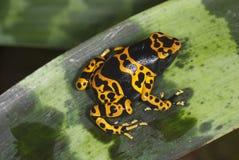 在叶子植物的青蛙 库存图片