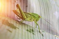 在叶子特写镜头的绿色蚂蚱 图库摄影