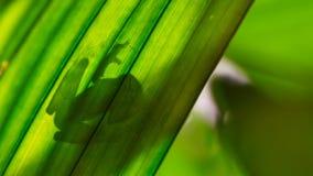 在叶子由后照的弗莱施曼的玻璃青蛙 免版税图库摄影