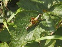 在叶子登陆的蚂蚱 库存图片