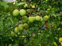 在叶子的一个分支是许多未成熟的樱桃李子 库存图片