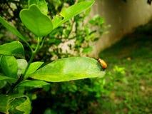 在叶子的一个小的臭虫 图库摄影