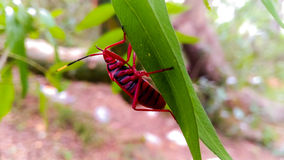 在叶子的一个红色臭虫 库存照片