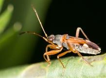 在叶子的一只甲虫 关闭 免版税库存照片