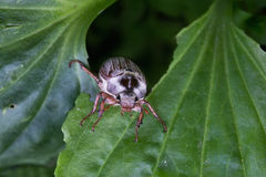 在叶子的一只甲虫 库存照片