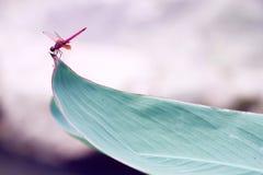 在叶子的一只红色蜻蜓 免版税库存图片