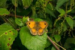 在叶子的一只美丽的看门人蝴蝶 免版税库存图片