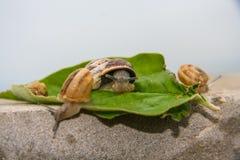 在叶子的一只葡萄蜗牛 免版税库存图片