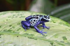在叶子的一只蓝色毒物箭青蛙 免版税库存照片