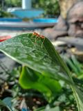 在叶子的一只蚂蚁 免版税库存图片
