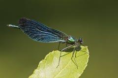 在叶子的一只闺女蜻蜓 免版税库存照片