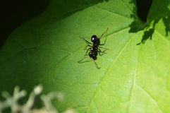 在叶子的一只黑蚂蚁 库存照片