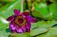 在叶子的一朵莲花 免版税库存图片