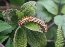 在叶子的一条多刺,尖刻的毛虫 免版税图库摄影