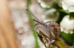 在叶子的上面的蜗牛探险家 库存照片