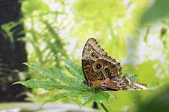 在叶子的两只蝴蝶 库存照片