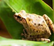 在叶子的共同的东南亚雨蛙 免版税库存图片