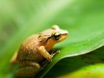 在叶子的共同的雨蛙-雨蛙leucomystax 库存图片