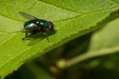 在叶子的共同的绿色瓶飞行 免版税图库摄影
