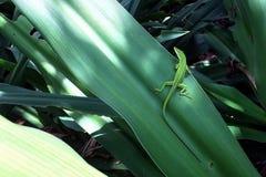 在叶子的变色蜥蜴蜥蜴 免版税图库摄影