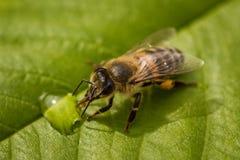 在叶子的喝从蜂房的一只蜂的宏观图象蜂蜜下落 免版税库存照片
