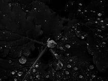 水滴在叶子的在一张黑白照片 库存图片