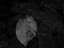 水滴在叶子的在一张黑白照片 库存照片