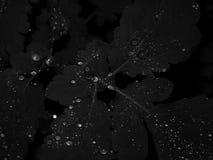 水滴在叶子的在一张黑白照片 免版税库存图片
