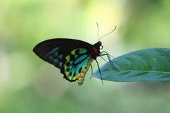 在叶子的大五颜六色的蝴蝶 免版税库存图片