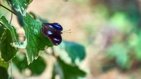在叶子的大黑蝴蝶 库存图片