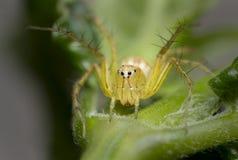 在叶子的天猫座蜘蛛 免版税图库摄影
