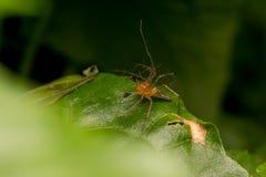 在叶子的天猫座蜘蛛 库存照片