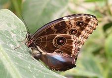 在叶子的宏观热带巨型蝴蝶 免版税图库摄影