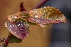 在叶子的宏观露水 库存照片