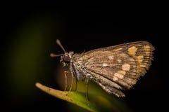 在叶子的小棕色飞蛾 免版税库存照片