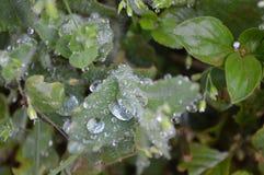 在叶子的小滴在雨以后 库存照片