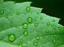 在叶子的小滴 免版税库存图片
