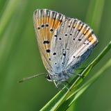 在叶子的小铜蝴蝶 库存图片