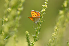 在叶子的小铜蝴蝶 免版税库存照片
