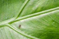 在叶子的工作的蚂蚁 库存图片