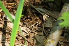 在叶子的布朗青蛙 免版税库存照片