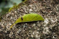 在叶子的异乎寻常的臭虫 库存照片
