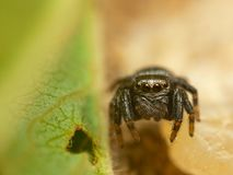 在叶子的微小的跳跃的蜘蛛,捷克 免版税图库摄影